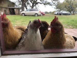 Fiber Mill chickens wanted to be friends!